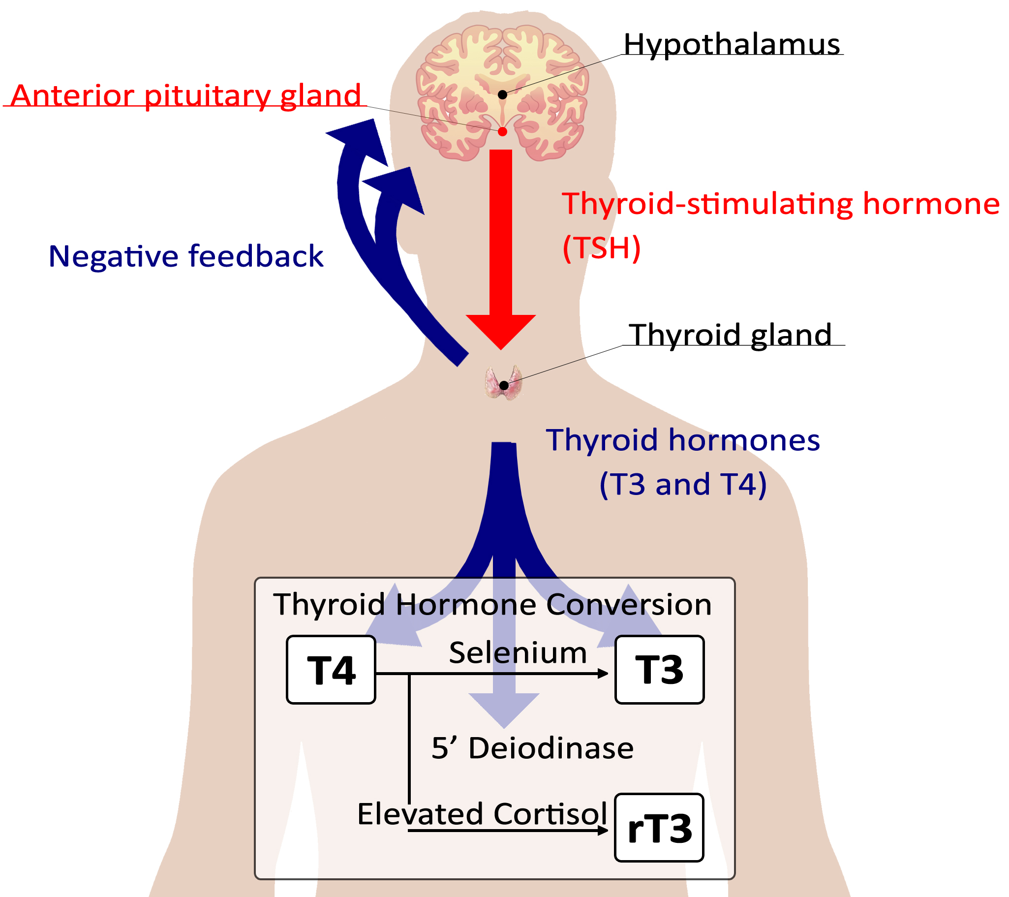 A Functional Approach To Thyroid Health Dr Timothy R T R Morris